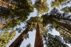 Looking Up At Sequoia added by cteicheira