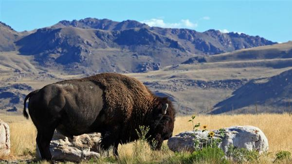 A bison grazes on Antelope Island courtesy of Steve Greenwood↗